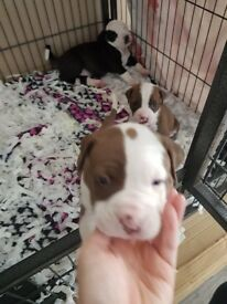 Stunning American Bulldogs for sale Johnson type