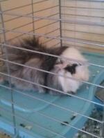 Sweet male guinea pig