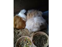 2 female guinea pigs need a loving home