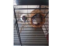 Free 4 x male rats