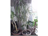 Indoor plants - Dragon tree and Yucca tip