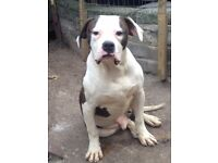 American bull dog for sale