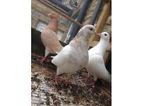 6 Fancy pigeons