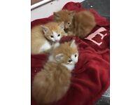 Male ginger kittens