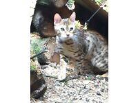 MISSING CAT SPOTLAND /ROCHDALE OL11 AREA