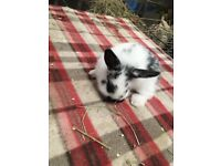 Baby mini lops ready to reserve (1 left)