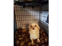 Chihuahua long hair pups for sale