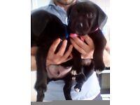 Labrador pups black very big