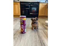 Teacup puppies Pomeranian X Yorkshire terrier