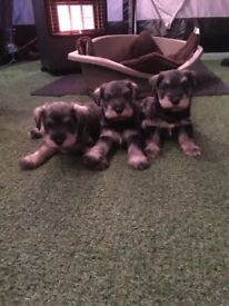 Pedigree Miniature schnauzer puppies