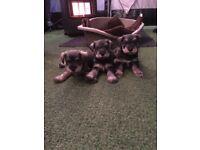 Pedigree Miniature schnauzer puppies