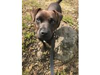 Patterdale terrier 10 month old pup