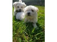 Maltese female puppy's 8 weeks