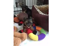 Toy Yorkshire Terrier for sale!