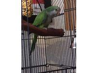Baby Quaker Parrots