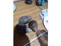 Giant Land Snails.