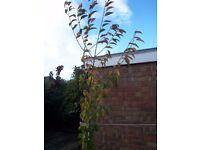 Cherry Tree / Plant