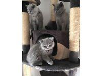 Beautifull Blue British Shorthair Kittens