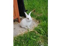 Baby Lop Eared Rabbits for Sale