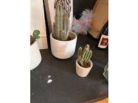 Cacti and concrete pots