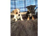 Beautiful Jack Russell X Chihuhua Puppies