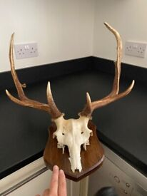 Mounted Skeletal Stags head With Antlers
