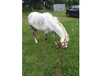 12hh pony for sale or loan