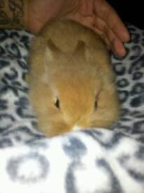 Ginger mini loop baby bunnie