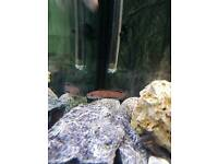 Two snakeheads tropical fish