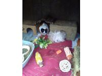 2 adorable female guinea pigs in need of a loving home