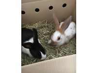 2 female Rabbits and hutch for £50