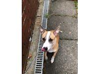 Crossbread puppy for sale
