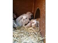 Lop ear bunnies
