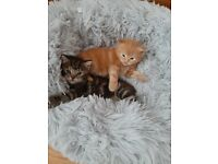 Beautiful Ginger Male & Tabby female