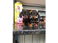 kc dachshund puppies