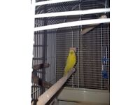 Budgie free to good home