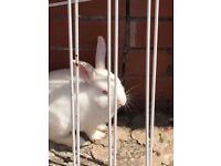 White male and female rabbit