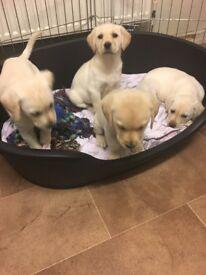 labradols pupies for sale