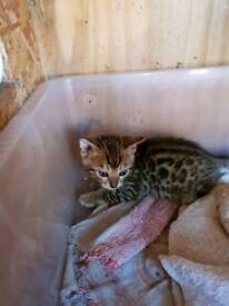 3 Bengal kittens 2 female 1 boy 2 Grey's 1 Brown rosette