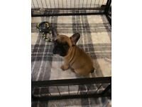 Red French Bulldog puppy for sale ready now
