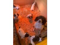 English springer spaniels pups