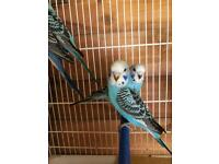 Blue baby budgie for sale (only one left now)