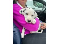 Beautiful Dalmatian Puppy For Sale - Last One