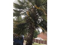Chusan Palm approx 10 ft