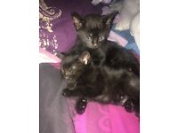 Beautiful black kittens ready to leave now!