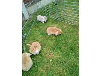 Pure mini lop bunnies