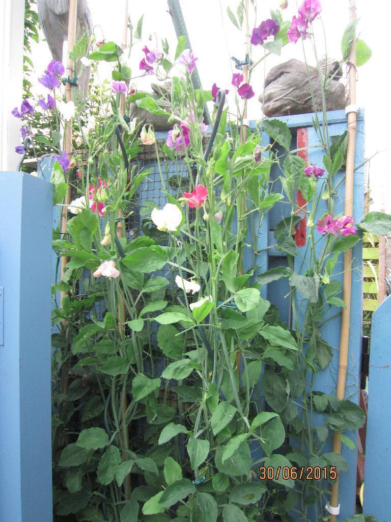 Beautiful Plants For Sale Beautiful Sweet Pea Plants For
