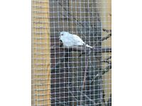 Selling diamond doves 🕊