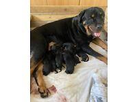 Stunning Rottweiler puppies.
