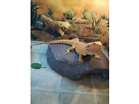 9 month Old Red X Beared Dragon and Vivarium for Sale